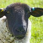 Black Face Sheep by lynn carter