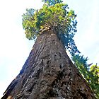 Great Sequoia by EarthPhoenix