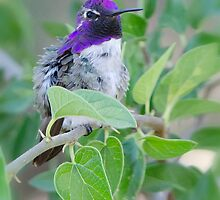 Costa's Hummingbird  by Saija  Lehtonen