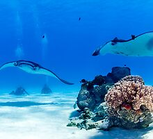 Mantas & Divers by Karen Willshaw