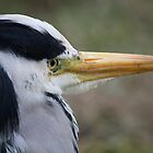 Grey Heron by David W Bailey