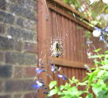 Spider web by HeatWave