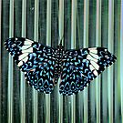 Hamadryas Amphinome (Blue Cracker) Butterfly by Larry Trupp