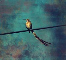Sugarbird by Deborah Hall Barry