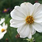 white cosmos by Linda  Makiej
