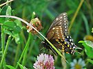 Black Swallowtail Sipping a Bit of Red Clover Nectar by Ron Russell