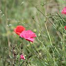 Wild poppies in the wind by Photos - Pauline Wherrell