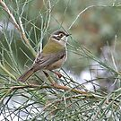 Brown-headed Honeyeater by Rick Playle