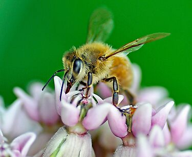 Honeybee by Rodney Campbell