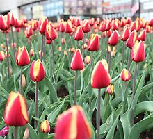 Colorful tulips in the city by mrivserg