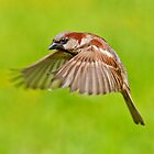 House Sparrow in flight by Margaret S Sweeny