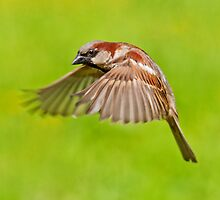 House Sparrow in flight by M.S. Photography/Art