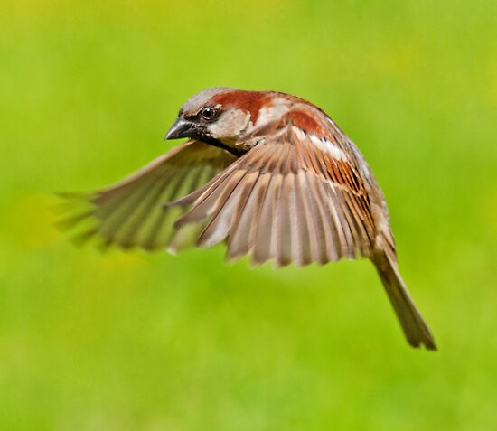 House Sparrow in flight by M.S. Photography & Art