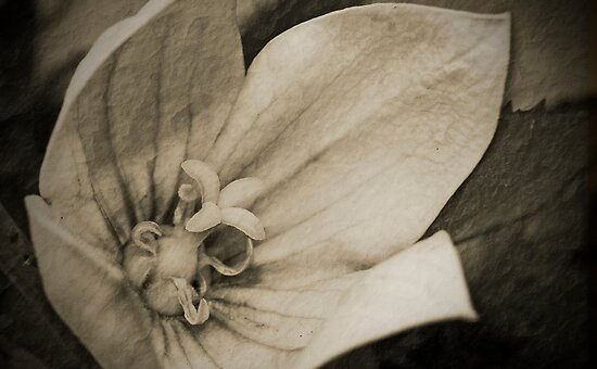 Antique Floral 9 by Debbie McGowan CAMMAYC Photography