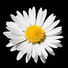 Daisy by Chris Wood