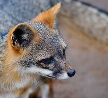 Grey Fox by pcfyi