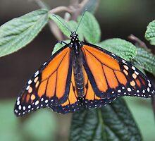 Monarch by ZeeZeeshots