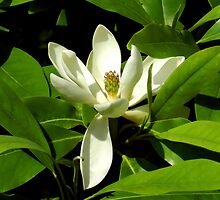 Sweetbay Magnolia by Sharon Woerner