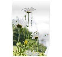 Daisy Daisy Poster
