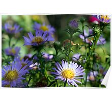 Blue Asters Poster