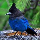 Steller's Jay by Chris Ferrell
