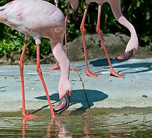 Flamingos by Vac1