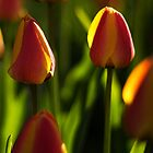 Backlit tulips. by Mark  Spowart