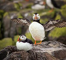 Puffins by FranJ