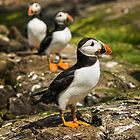 The Puffin March by FranJ