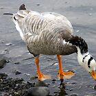 Bar Headed Goose - Esquimalt Lagoon by Heather  Hess