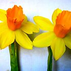 Close-up of 2 Daffodils by CrystalFanning
