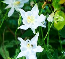 White Columbine with Tiny Insect by CrystalFanning