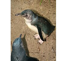 Little Blue Penguin Photographic Print