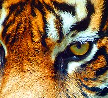 Tiger eyes by Chris Brunton