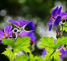 Wild Geraniums ~ Geranium Maculatum by Susie Peek