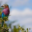 Lilac-Breasted Roller by Kyle McLeod