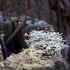 Lichen Stump: Washpool National Park, NSW by SunshineKaren