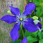 Clematis by Jeanette Muhr