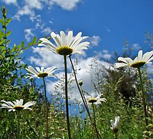 Oxeye Daisies Wildflowers - Leucanthemum vulgare by MotherNature