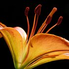 Asiatic lily by Linda Sparks