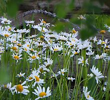 Daisies   by © Betty E Duncan ~ Blue Mountain Blessings Photography