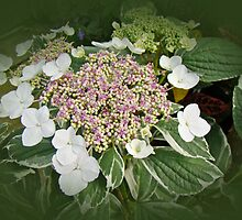 Variegated Lace Cap Hydrangea - Pink and White by MotherNature