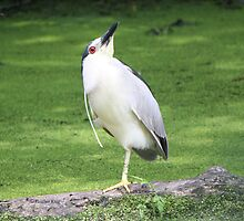Black crowned night heron yoga pose by Heather King
