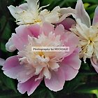 Pretty Peonies by Michiale