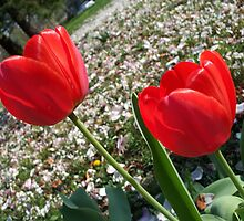Tulips  by CrystalFanning