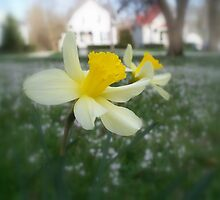 Daffodils with Street Scene (Soft Focus) by CrystalFanning