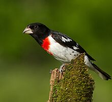 Male Rose-breasted Grosbeak on a Moss Covered Stump by Bill McMullen