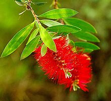 Callistemon citrinus. by Bette Devine