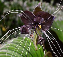 Tacca chantrieri's -  Black Bat plant  by Matsumoto