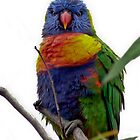 Rainbow Lorikeet by sedge808